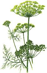 укроп, зрелое растение с семенами