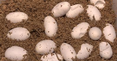 змеиные яйца